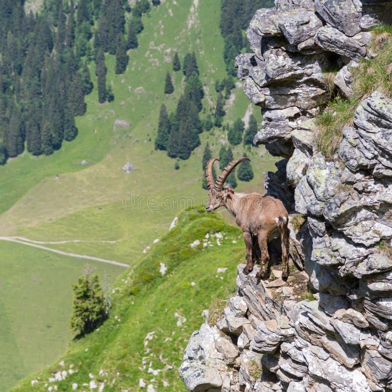Condizione alpina maschio di capricorno di capra ibex sulla roccia con la vista della valle fotografia stock