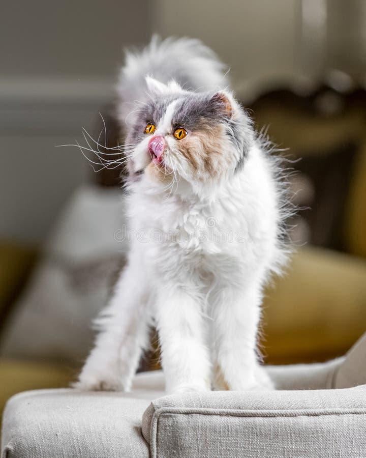 Condizione bianca, grigia e dello zenzero del gatto persiano su una sedia o su un sofà che cerca leccante il suo naso fotografia stock