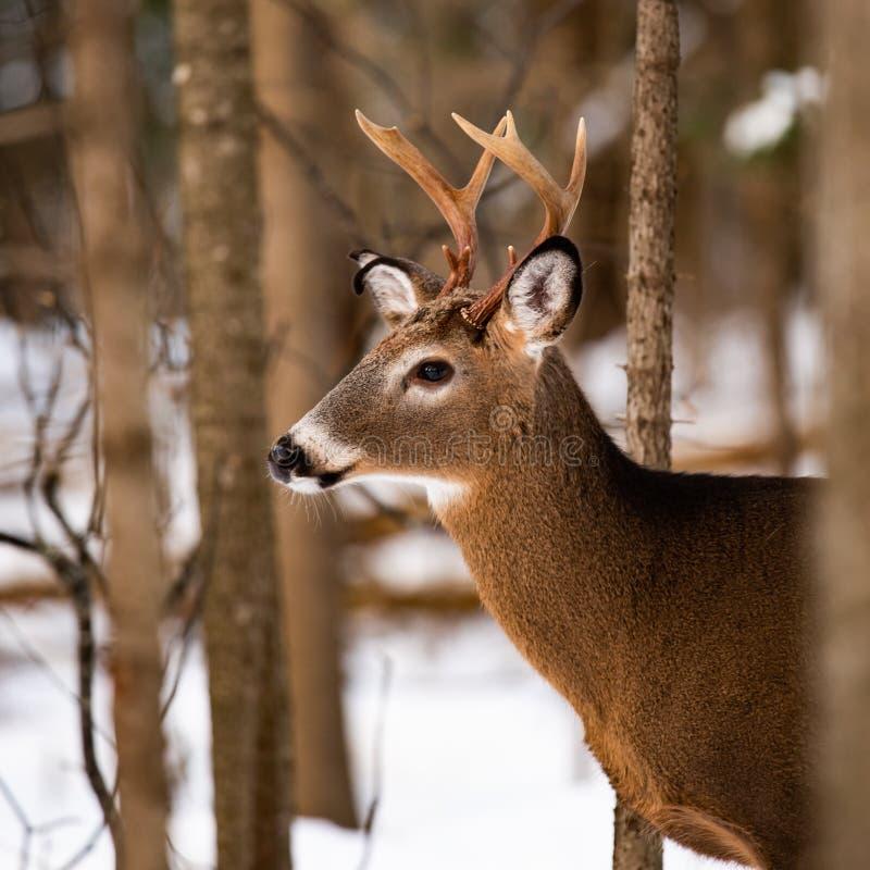 Condizione del dollaro dei cervi di Whitetail nella foresta fotografie stock libere da diritti