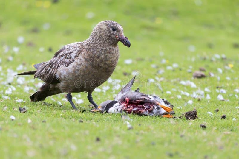 Condizione del grande stercorario sull'erba verde che mangia un puffino che ha ucciso immagine stock libera da diritti