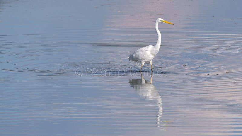 Condizione dell'airone bianco maggiore nel lago fotografia stock