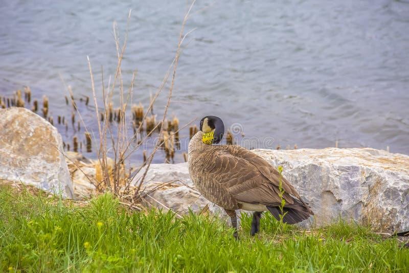 Condizione dell'anatra di Brown sulla riva erbosa e rocciosa di un lago d'increspatura fotografia stock libera da diritti