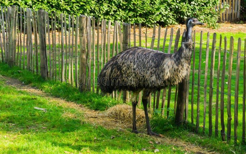 Condizione dell'uccello dello struzzo dell'emù nel ritratto animale della fauna selvatica dell'erba un grande uccello dall'Austra fotografia stock libera da diritti