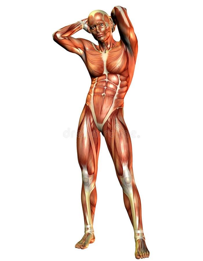 Condizione dell'uomo del muscolo royalty illustrazione gratis