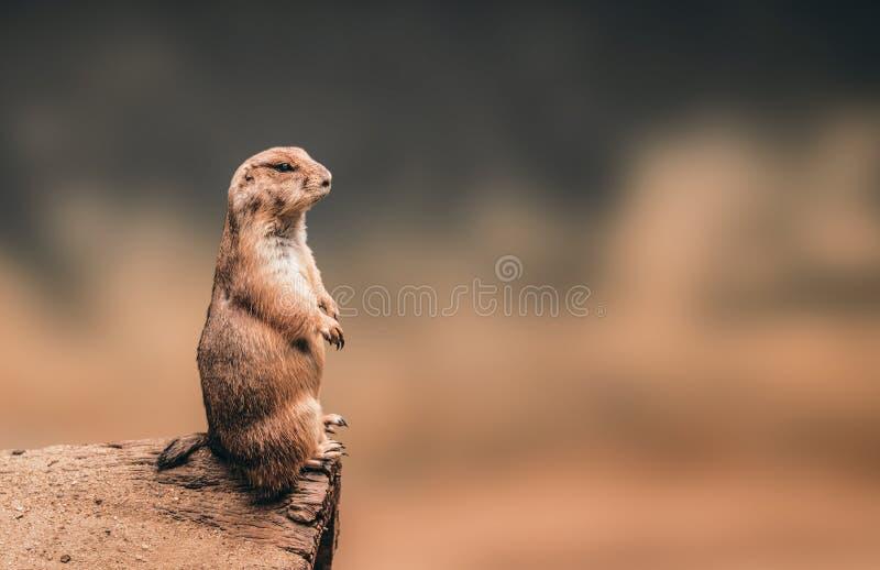 Condizione della marmotta sul fondo di legno del copyspace e del ceppo fotografie stock libere da diritti