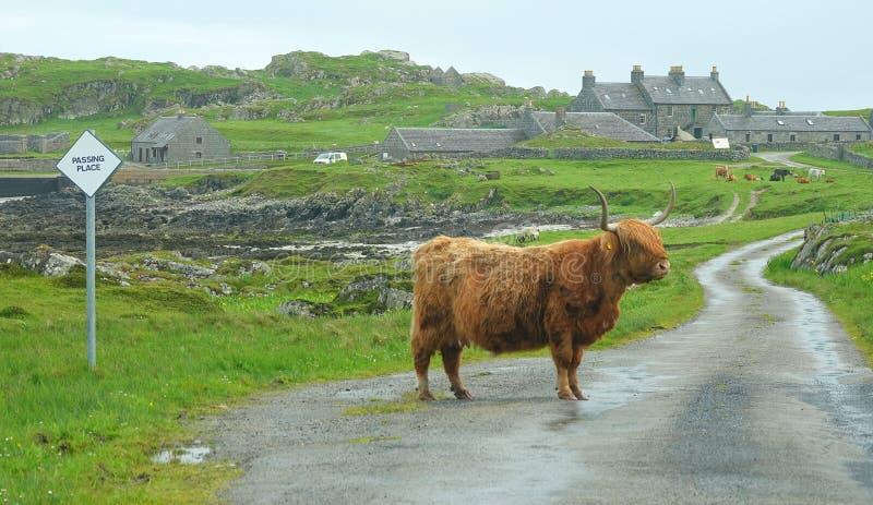 Condizione della mucca dell'altopiano in strada fotografia stock