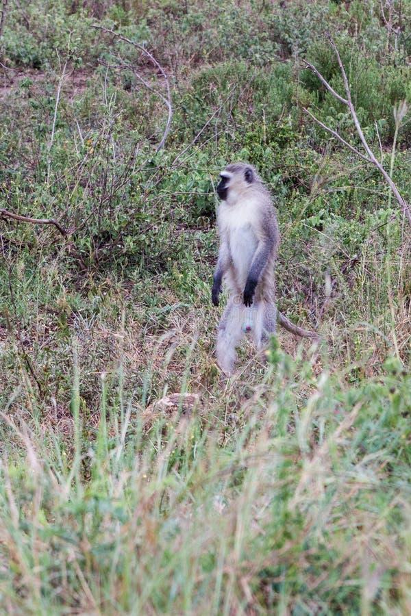 Condizione della scimmia del velluto fotografia stock