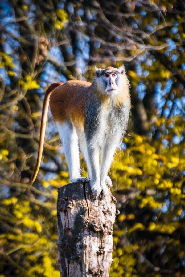 Condizione della scimmia sul legno immagini stock libere da diritti