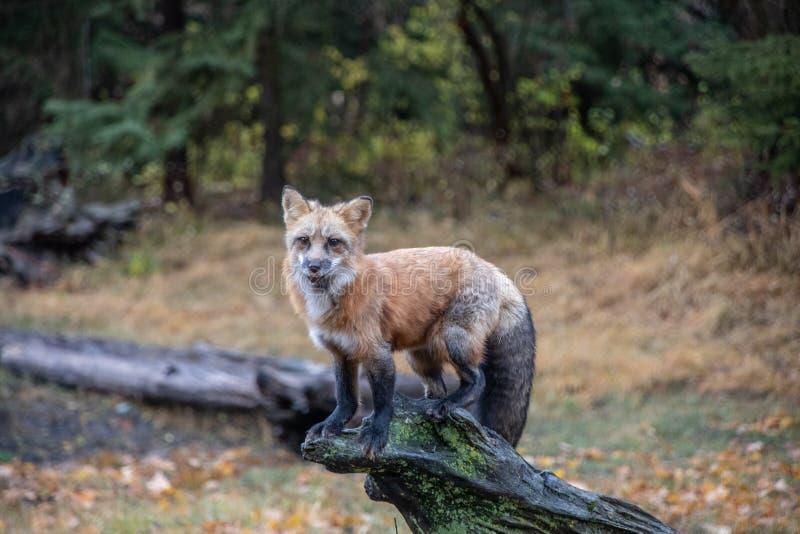 Condizione di Fox sul ceppo muscoso fotografia stock