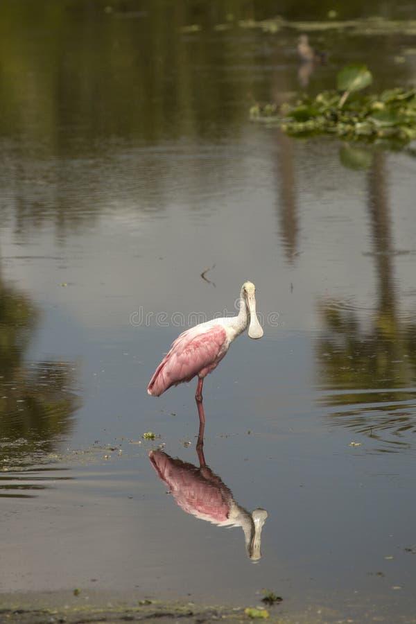 Condizione di spatola rosea in acqua bassa ad Orlando Wetlands Park fotografia stock
