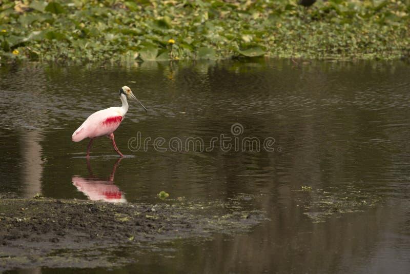 Condizione di spatola rosea in acqua bassa ad Orlando Wetlands Park fotografia stock libera da diritti