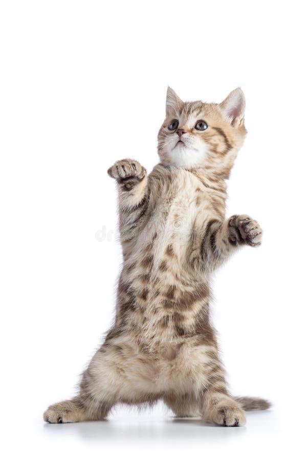 Condizione diritta scozzese divertente del gattino del gatto isolata sopra fondo bianco fotografia stock