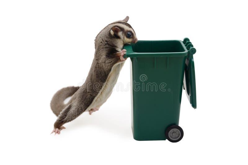 Condizione e sguardo di Sugarglider dentro per inverdirsi bidone della spazzatura fotografie stock
