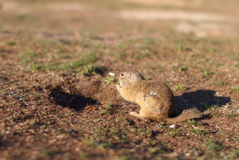 Condizione europea dello scoiattolo di messa a terra nel campo Scena della fauna selvatica del citellus dello Spermophilus dalla  fotografia stock libera da diritti