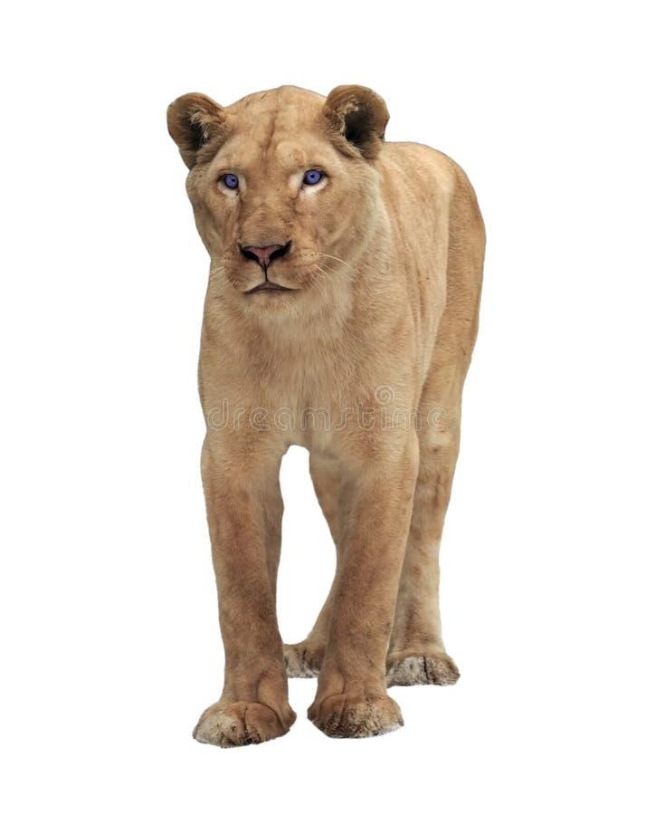 Condizione femminile del leone ed esaminare macchina fotografica isolata su bianco fotografie stock