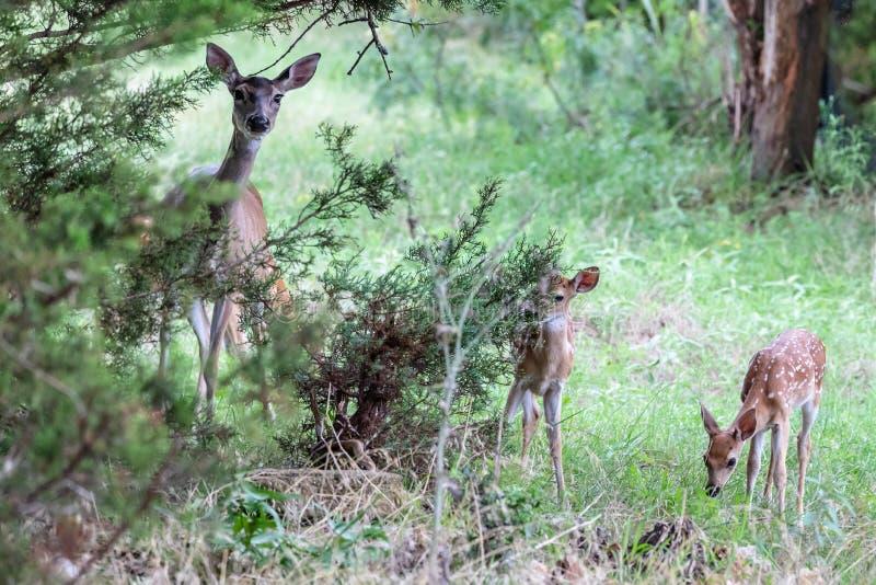 Condizione gemellata del primo piano dei cervi del fawn del Whitetail vicino alla loro daina della madre fotografia stock