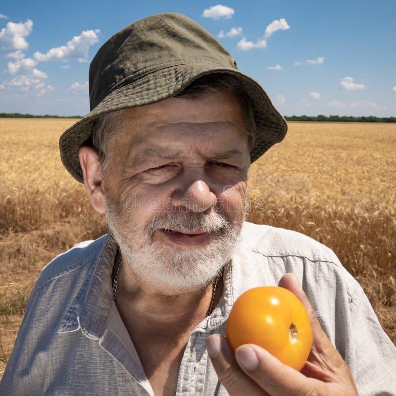 Condizione gialla organica pronta da mangiare del pomodoro dell'agricoltore senior barbuto nel giacimento di grano fotografia stock libera da diritti
