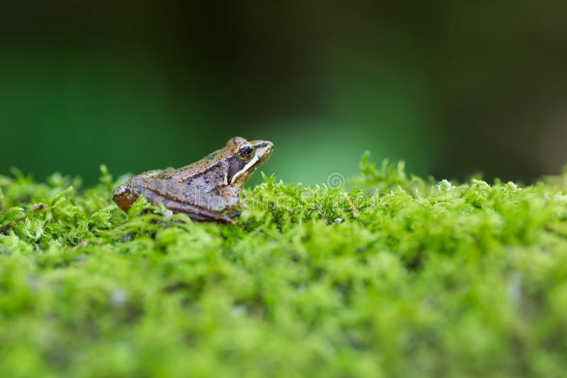 Condizione iberica della rana sul muschio verde Fondo verde immagini stock
