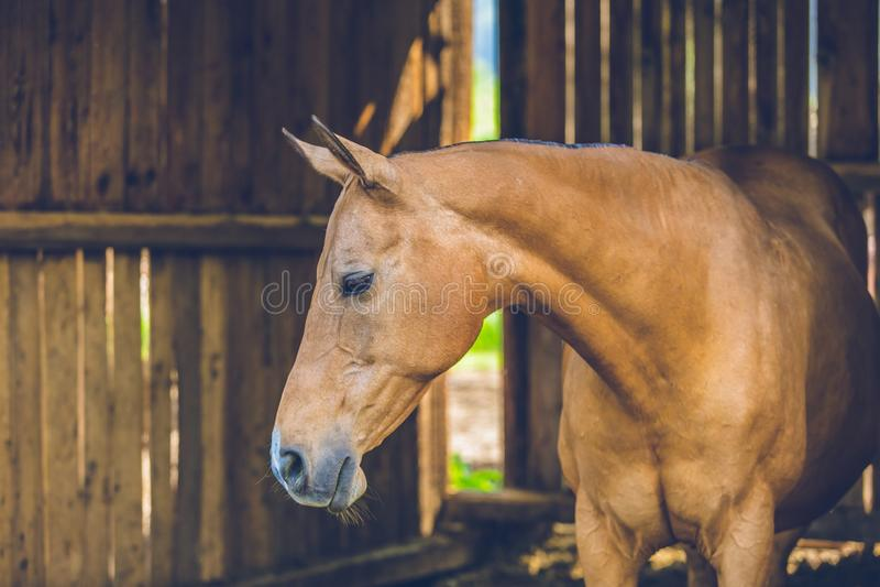 Condizione marrone calma sveglia del cavallo in una stalla immagini stock