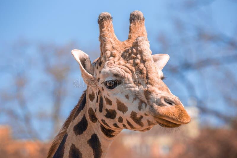 Condizione nei cespugli, Zambia, Africa meridionale della testa di Girafe immagine stock libera da diritti