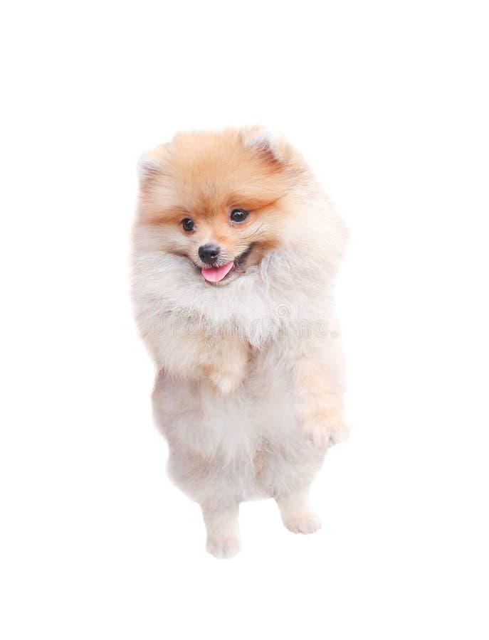 Condizione pomeranian lanuginosa marrone adorabile sorridente del cane isolata su fondo bianco, animale con il fronte e la lingua fotografia stock