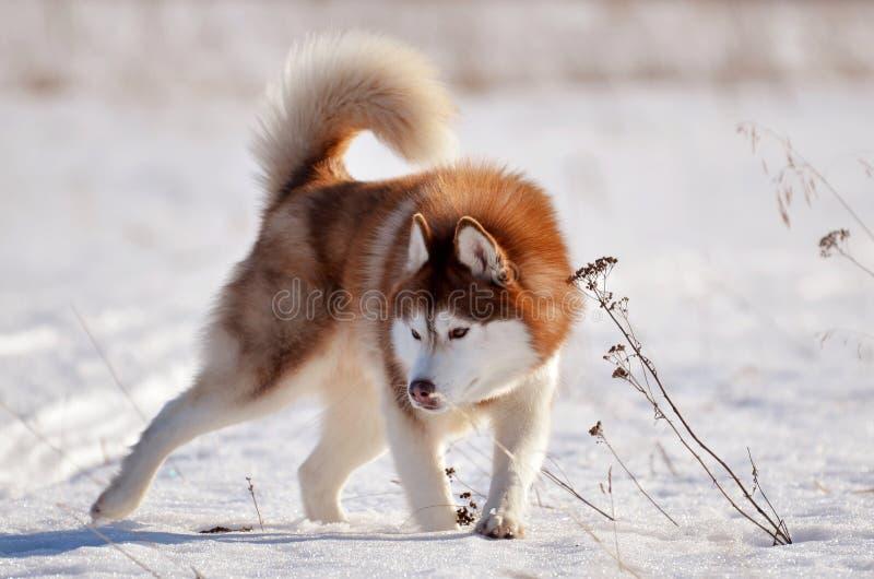 Condizione rossa del husky del cane nel campo di neve nella posa aggressiva fotografia stock libera da diritti