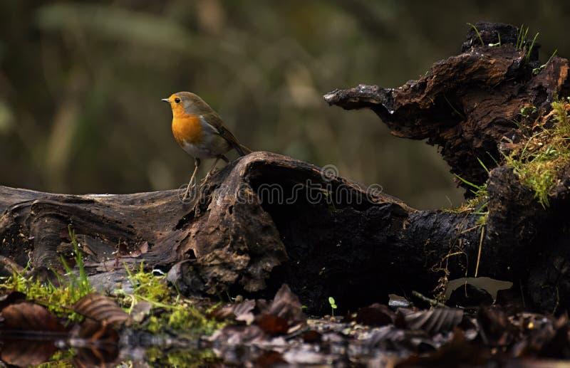 Condizione rossa di Robin su un ramo in un legno in autunno fotografia stock libera da diritti