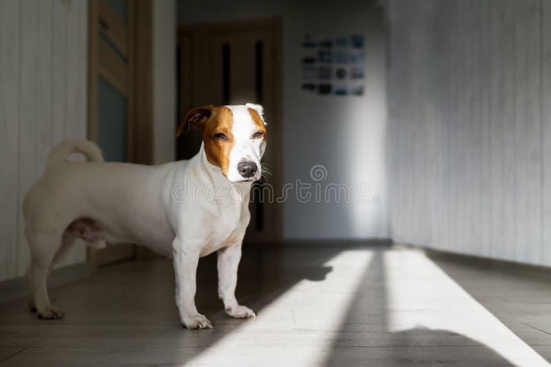 Condizione stanco morta sul pavimento all'interno Terrier di Jack russell sul pavimento in sole fotografia stock