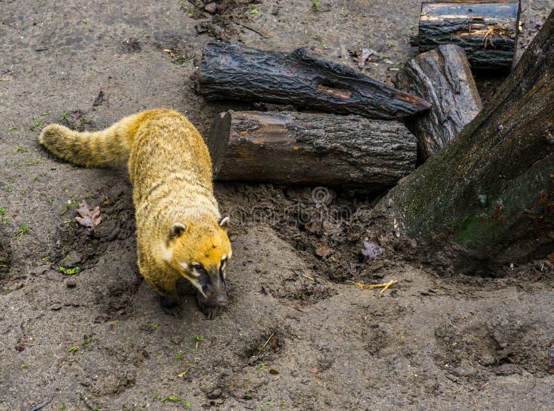Condizione sudamericana nella sabbia, procione tropicale dei coati dall'America immagine stock