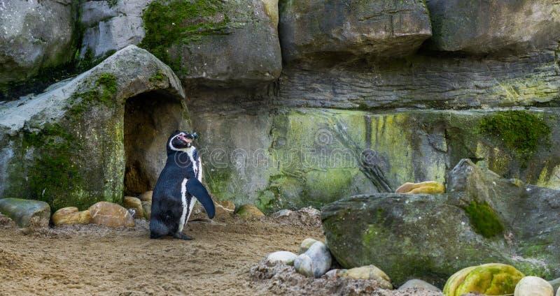 Condizione sveglia davanti alla sua caverna, uccello acquatico minacciato con uno stato vulnerabile, specie animale del pinguino  immagine stock