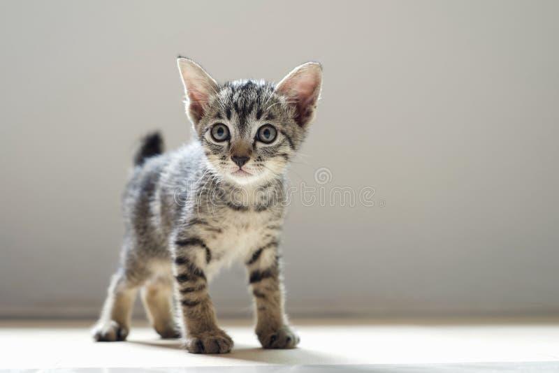 condizione sveglia del gatto nella luce del mornig e della sala fotografia stock