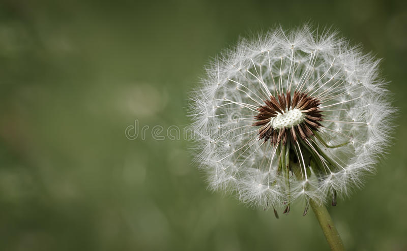 Condolence or sympathy design with dandelion. Flower against a green background royalty free stock photography