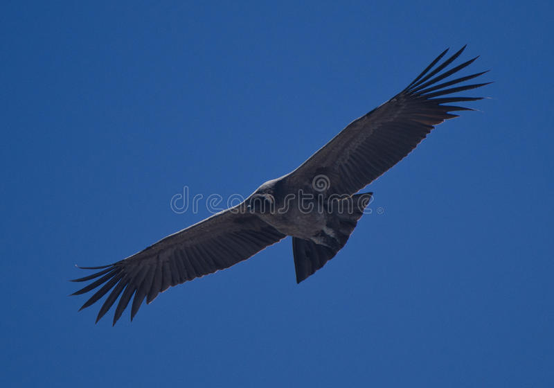 Condor 1 fotografia de stock