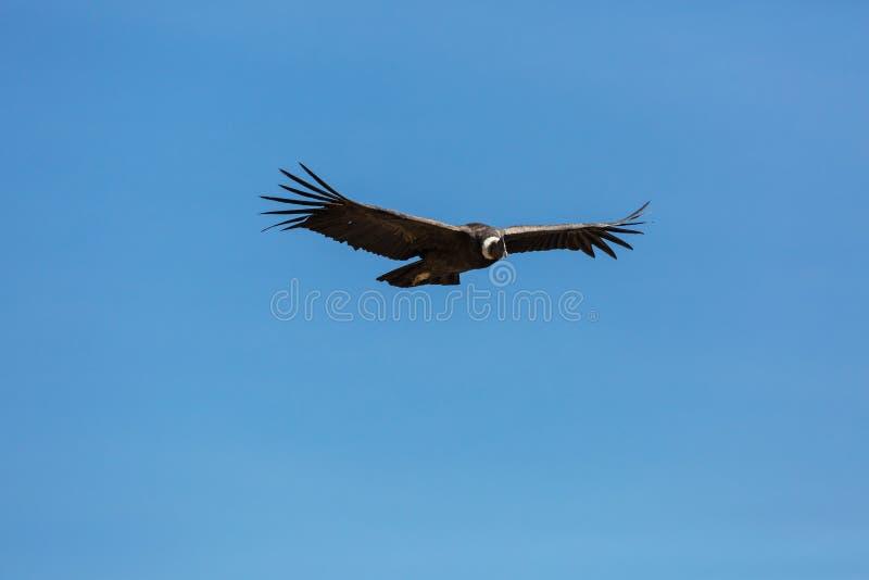 condor stock afbeeldingen