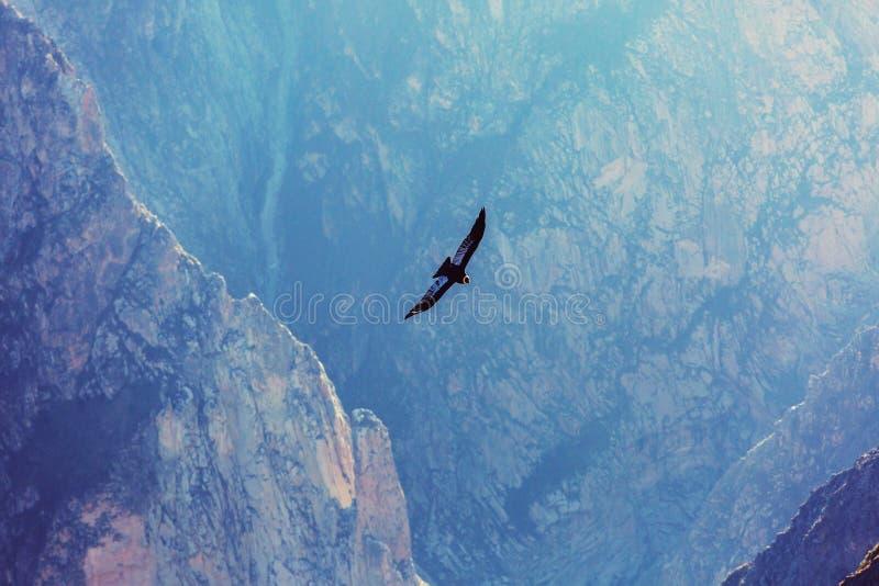 condor royalty-vrije stock afbeelding