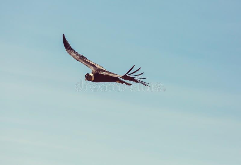 condor royalty-vrije stock foto's