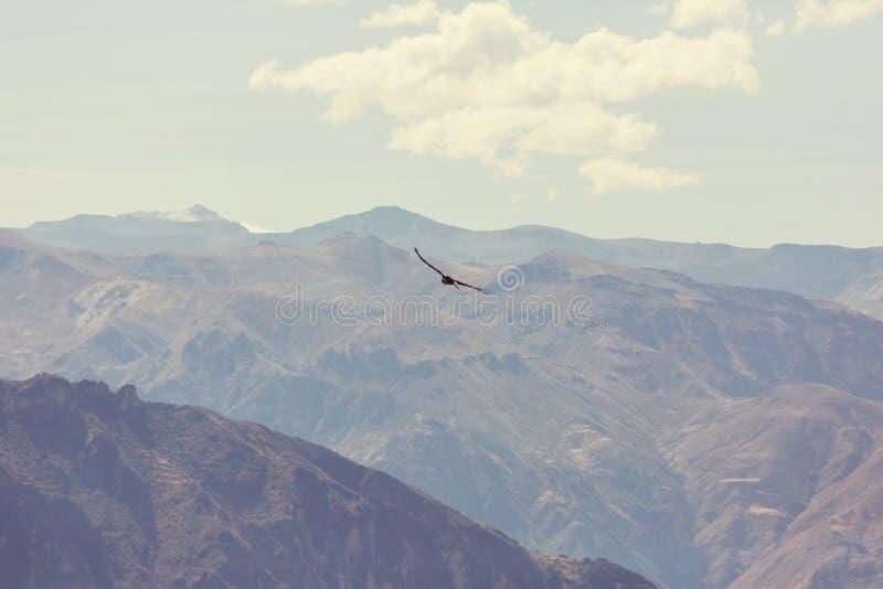 condor stock foto's