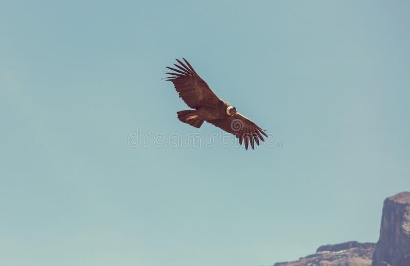 condor stock foto