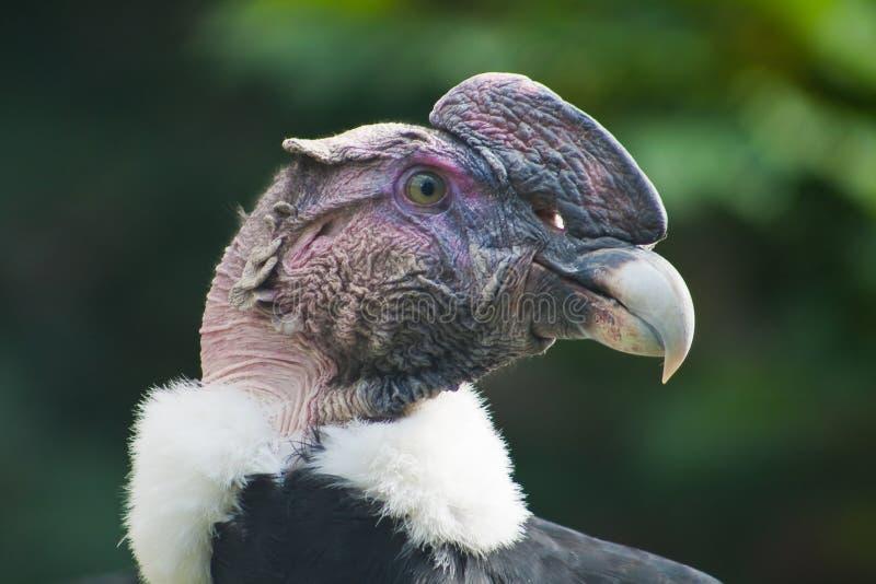 Condor stock afbeelding
