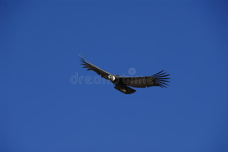 Download Condor stock image. Image of latin, deep, arequipa, trekking - 14840171