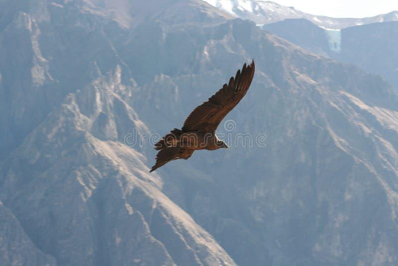 Download Condor stock photo. Image of colca, prey, carnivorous - 16119192