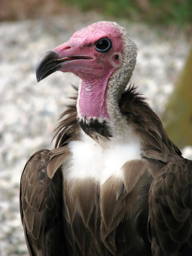 Condor image stock