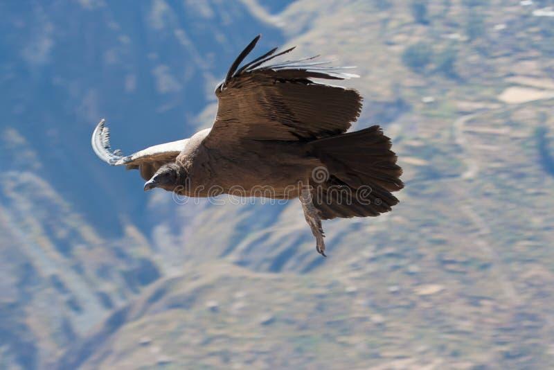 Condor fotografia de stock