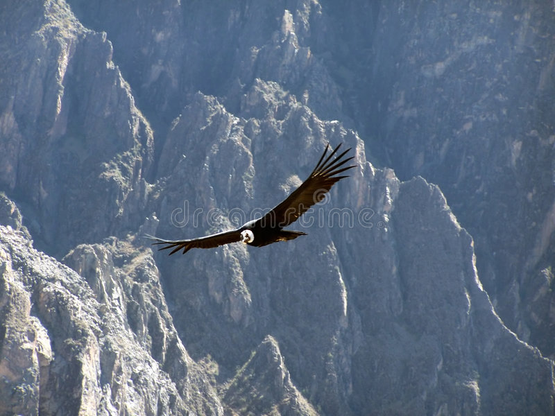 Condor. In the Colca canyon. Peru