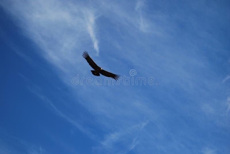 condor royalty-vrije stock afbeeldingen