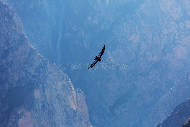 condor royalty-vrije stock fotografie