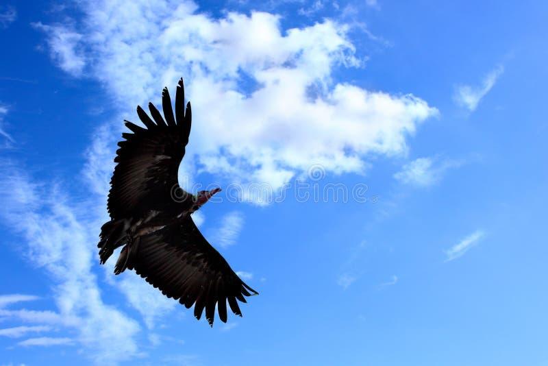 Condor américain images stock