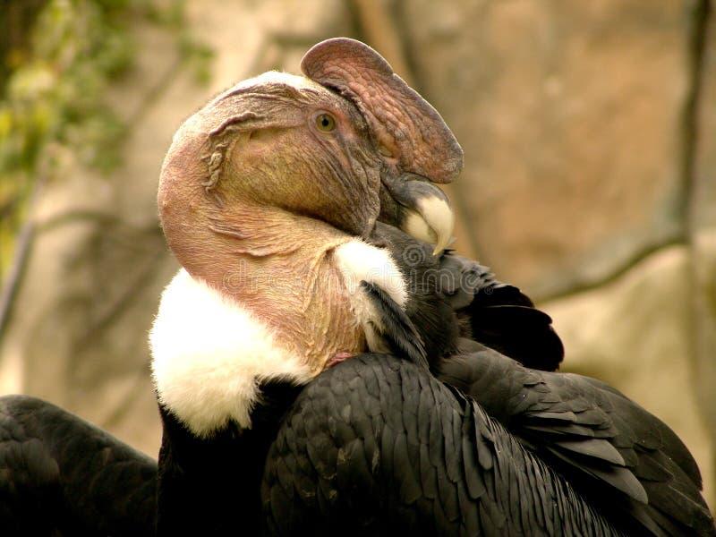 Download Condor andin photo stock. Image du wolfish, condor, sauvage - 82004