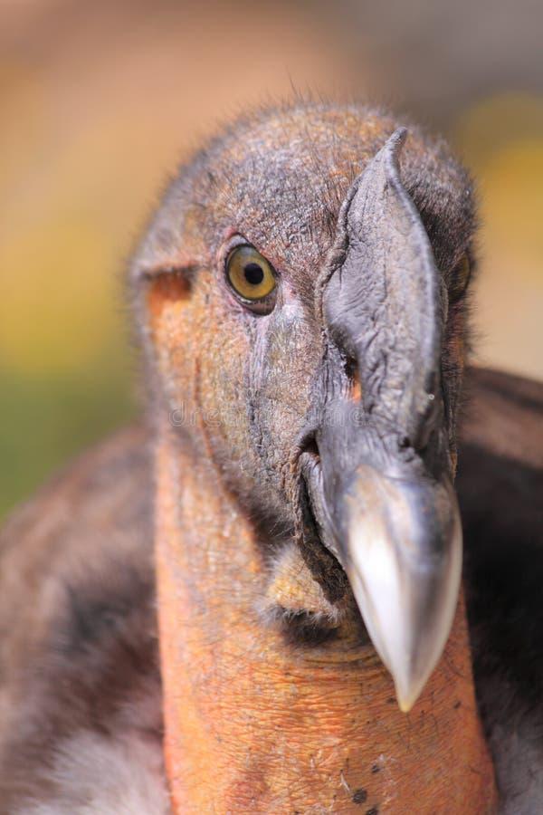 Condor andino immagini stock