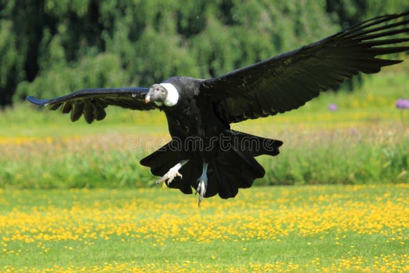 Condor andino fotografia stock
